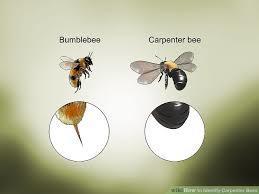 abejas carpinteras contra abejorros-1