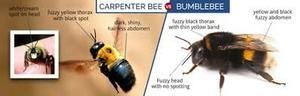 abejas carpinteras contra abejorros