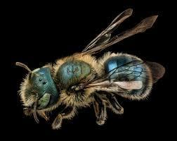 abeja de albañil sobre fondo oscuro.
