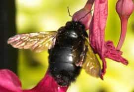 abeja negra en la naturaleza