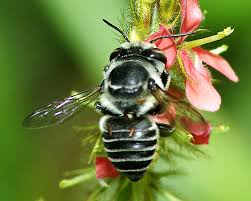 abeja negra en flor roja