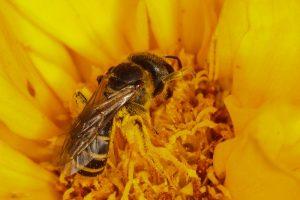 abeja sudorosa en flor.