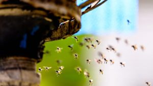 abejas sudorosas en la naturaleza.