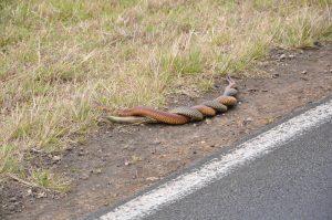 Dos serpientes cabeza de cobre apareándose por la carretera