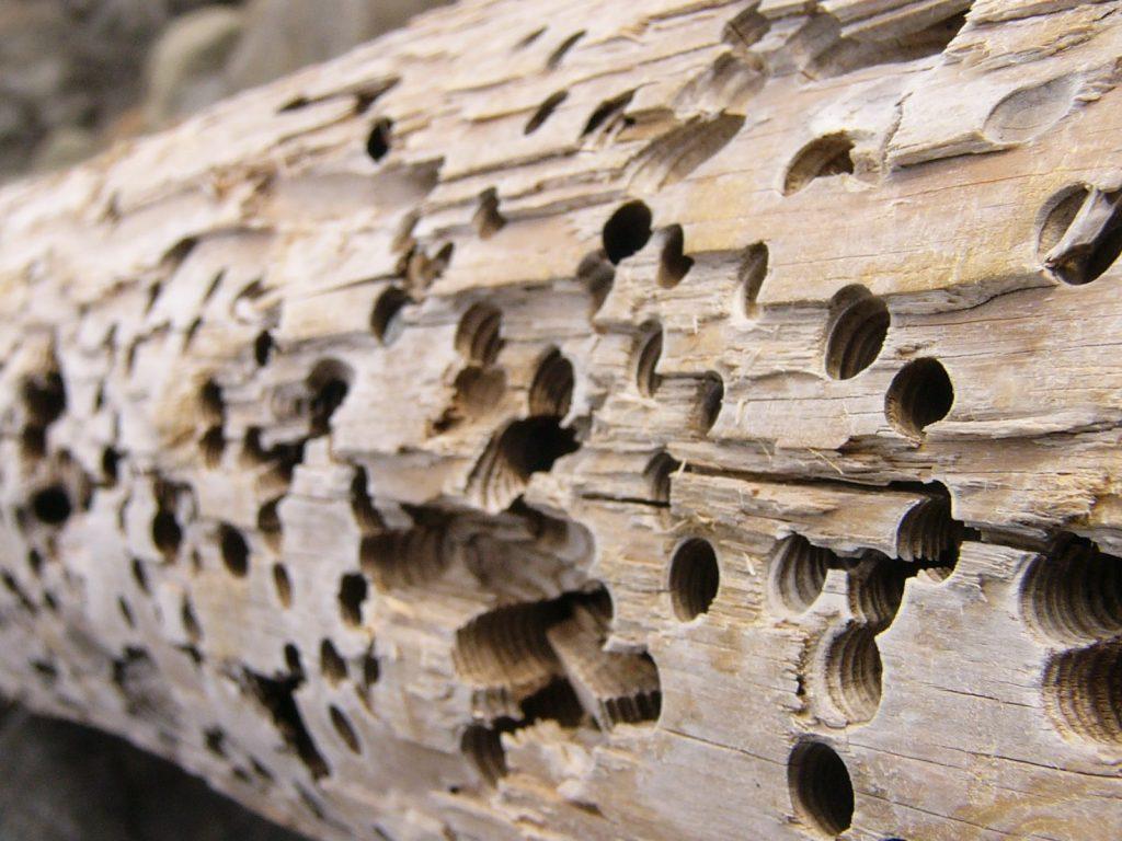 Agujeros en la madera seca causa por termitas