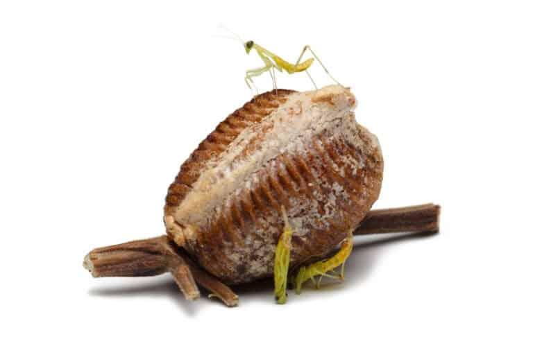 almacenar los huevos de mantis
