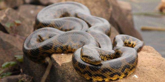 9 Datos Interesantes de Anaconda que te Volarán la Mente