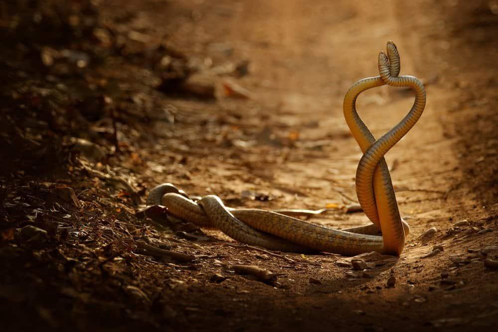 Dos serpientes se aparean en el desierto