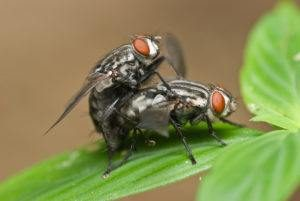 apareamiento de mosca de carne