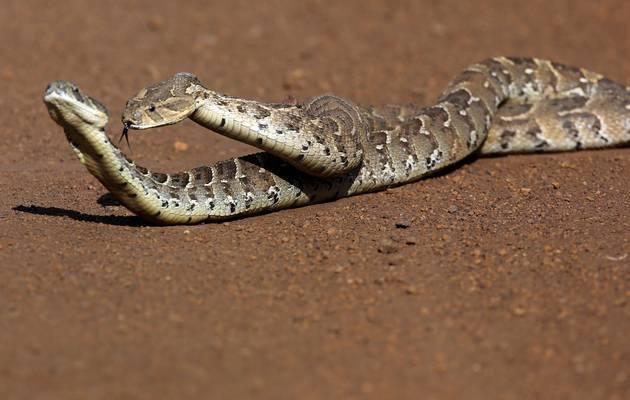 ¿Cómo se Aparean las Serpientes? 10 Hechos Revelados