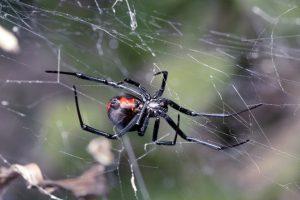Foco de Plagas de Otoño – Araña de Espalda Roja Extendida