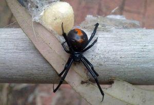 araña redback con saco de huevo