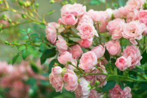 Fondo de ramo de rosa floreciendo arbusto de rosa.