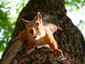 La ardilla de Fox que cuelga en el árbol está comiendo.