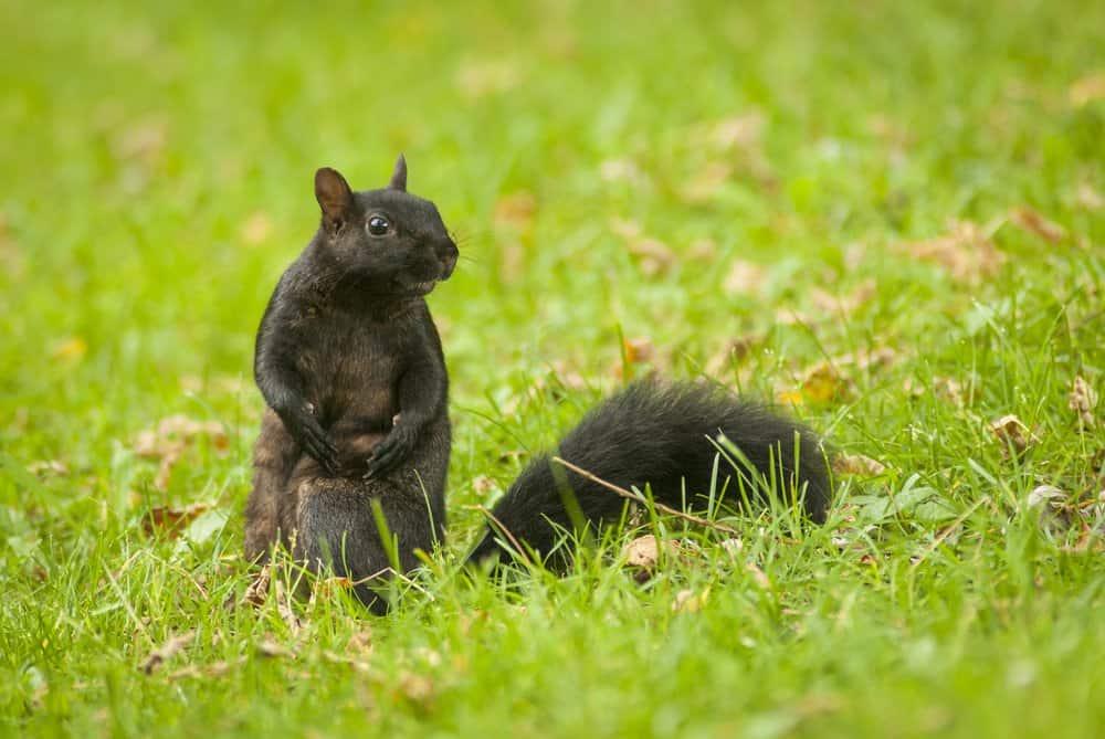 dos ardillas negras en la naturaleza