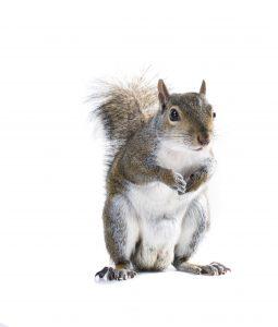 La ardilla gris americana sostiene las piernas en su pecho.