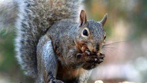 La ardilla gris está comiendo en naturaleza.