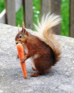 Una ardilla roja está comiendo zanahoria.