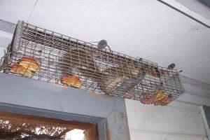 Una ardilla está atrapada en una casa.