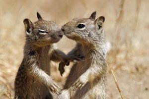 Dos ardillas se están besando en la naturaleza.