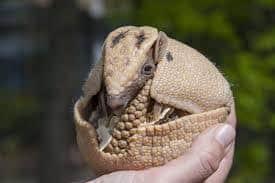 único armadillo gigante en mano humana.