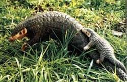 solo armadillo gigante en la naturaleza