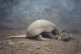 solo armadillo gigante en el suelo