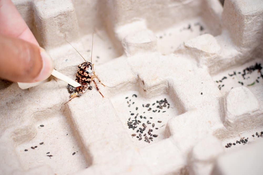 Una cucaracha atrapada en pinzas
