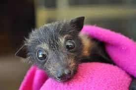 solo lindo murciélago en toalla rosa