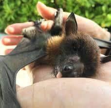 bebé murciélagos en manos de humanos.