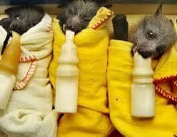 bebés murciélagos-3