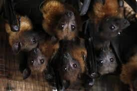 Los murciélagos bebé