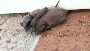 Tratamiento de la Infestación de Bebés Murciélagos