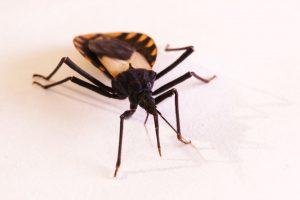 Cómo Manchar y Deshacerse de los Insectos Besos