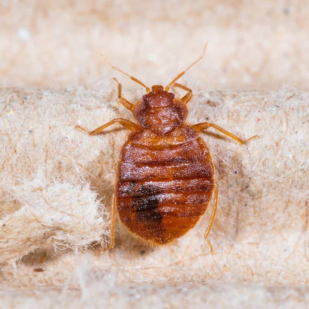 Cerca de un gran insecto cama