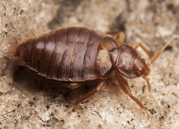 Un gran insecto cama tumbado en el suelo