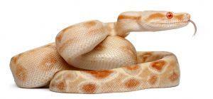 Boa serpiente tumbada en el fondo blanco