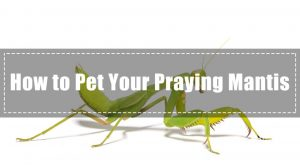 Mantis de Oración Como Mascota – Cómo Mascotas Tus Antis de Oración (2018)