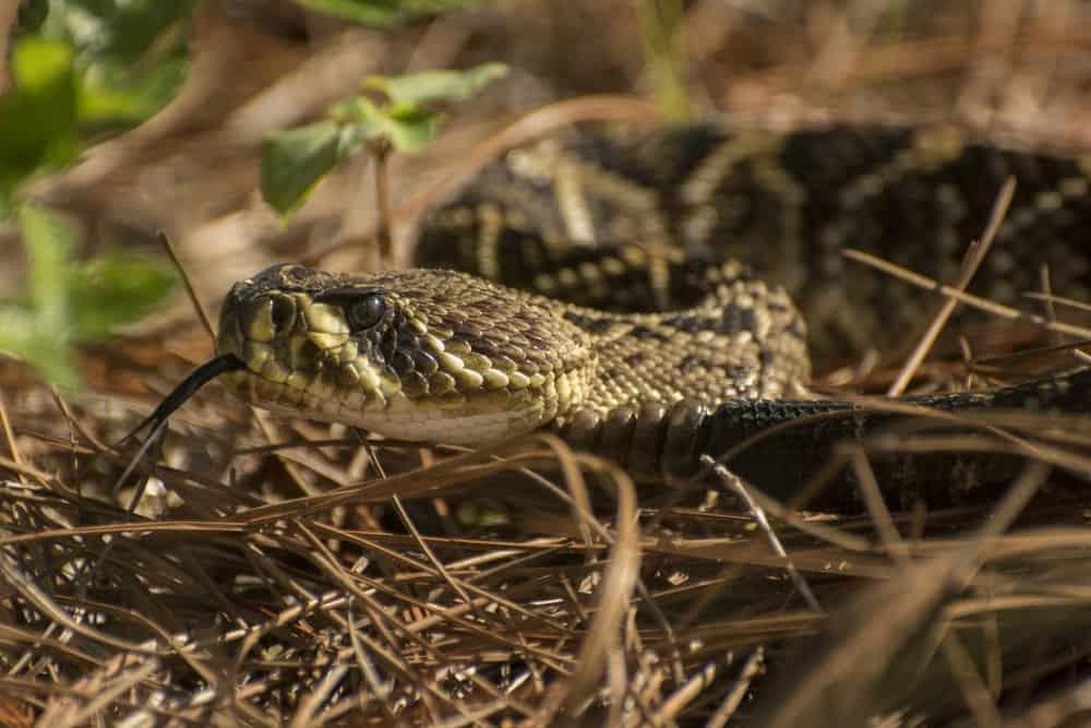Primer plano de la cabeza de una serpiente de cascabel