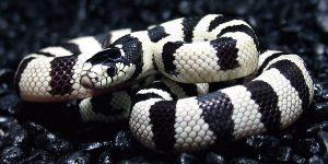 Adlut California rey serpiente en el suelo
