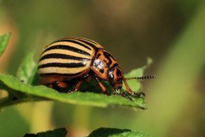 canva colorado plagas escarabajo patata rayado