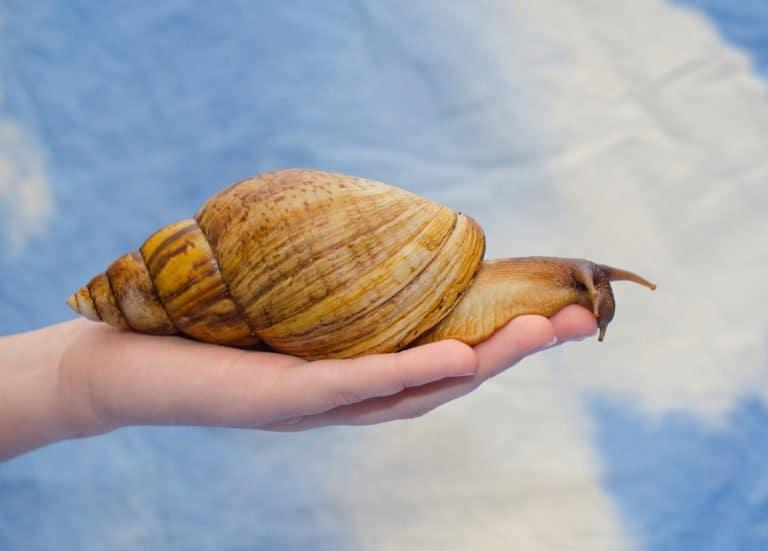 un caracol en mano humana