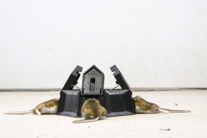 Trampa de tres agujeros con ratones atrapados en cada compartimento, de la zona infestada de ratones