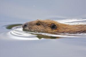 Un castor está nadando en aguas tranquilas.