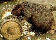 un castor está comiendo la madera.