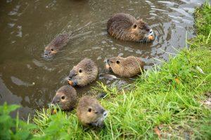 Familia de castor en el estanque.