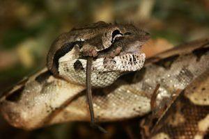 Boa constrictor está cazando ratones en el suelo