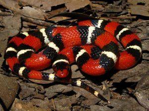 La serpiente del rey Scarlet tumbada en las hojas
