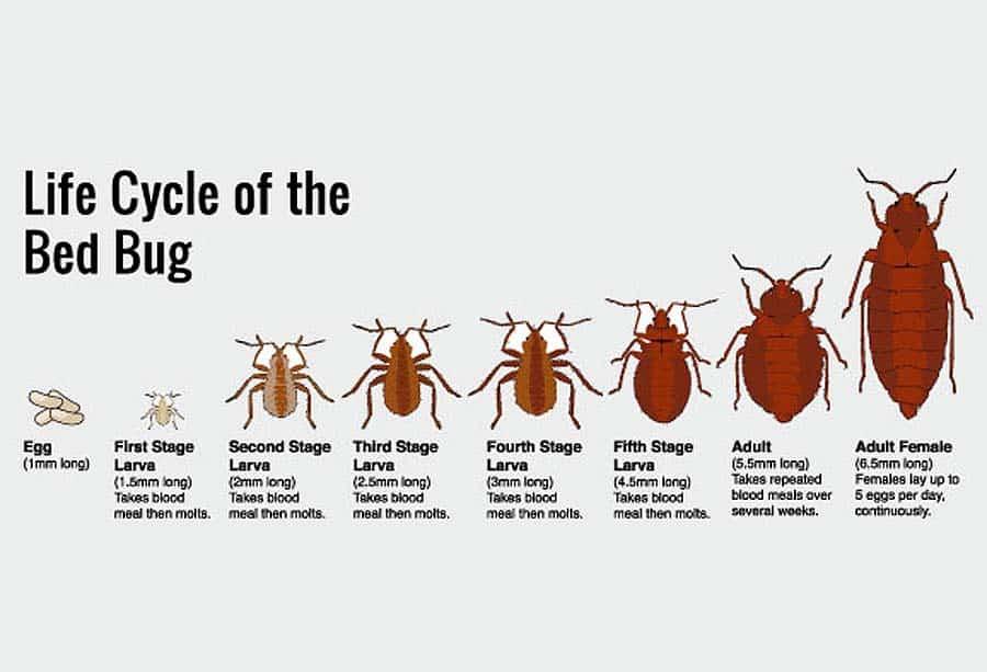 Todo lo que Necesitas Saber sobre el Ciclo de Vida de los Bichos de la Cama