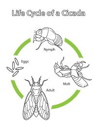 ciclo de vida de la cigarra